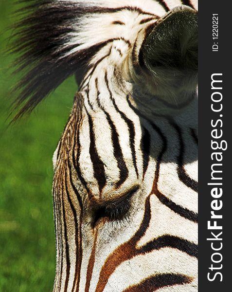 Zebra s head