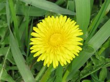 Free Flower, Dandelion, Sow Thistles, Daisy Family Stock Photo - 122107600