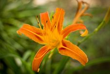 Free Flower, Flora, Lily, Orange Stock Image - 122107691