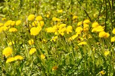 Free Flower, Yellow, Flora, Sow Thistles Stock Images - 122107704