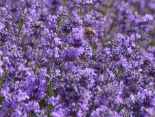 Free Plant, Lavender, Flower, English Lavender Stock Photography - 122107832