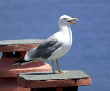 Free Bird, Gull, Seabird, European Herring Gull Royalty Free Stock Images - 122107839