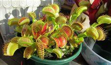 Free Plant, Carnivorous Plant, Houseplant Royalty Free Stock Image - 122108056
