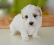Free Dog Like Mammal, Dog, Dog Breed, Maltese Stock Photos - 122108123