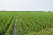 Free Agriculture, Crop, Paddy Field, Field Stock Photography - 122108432