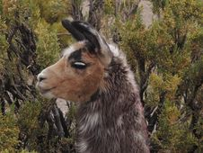 Free Goats, Fauna, Goat, Feral Goat Stock Photo - 122203520