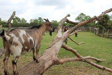 Free Goats, Goat, Fauna, Pasture Royalty Free Stock Photography - 122203587