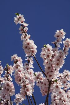 Free Blossom, Branch, Spring, Cherry Blossom Royalty Free Stock Photography - 122203877