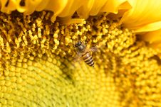 Free Honey Bee, Bee, Sunflower, Yellow Royalty Free Stock Photos - 122204058