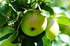 Free Fruit, Fruit Tree, Apple, Branch Stock Photography - 122204212