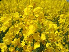 Free Rapeseed, Yellow, Mustard Plant, Flower Stock Photography - 122204322