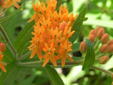 Free Flower, Flora, Plant, Tropical Milkweed Royalty Free Stock Photo - 122204375