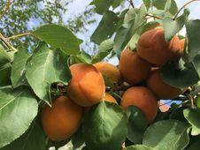 Free Fruit Tree, Fruit, Diospyros, Produce Stock Photography - 122204532