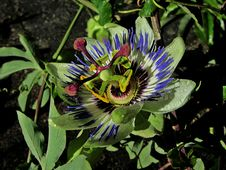 Free Flower, Plant, Passion Flower, Flora Stock Image - 122204561