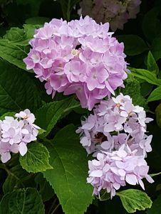 Free Flower, Plant, Flowering Plant, Hydrangea Royalty Free Stock Photography - 122204577