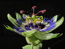 Free Flower, Plant, Passion Flower, Flora Stock Images - 122204704