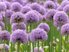 Free Plant, Purple, Chives, Onion Genus Stock Photo - 122204710