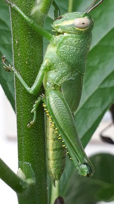 Free Insect, Grasshopper, Locust, Cricket Like Insect Royalty Free Stock Images - 122700809