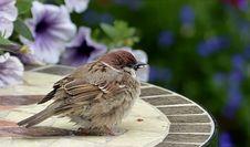Free Bird, Sparrow, House Sparrow, Fauna Royalty Free Stock Photo - 122700815