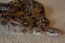 Free Snake, Reptile, Boas, Boa Constrictor Royalty Free Stock Image - 122700826