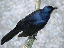 Free Bird, American Crow, Fauna, Crow Royalty Free Stock Image - 122700866
