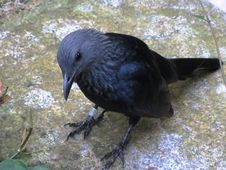 Free Bird, Fauna, American Crow, Crow Stock Image - 122700881