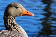Free Beak, Bird, Water Bird, Ducks Geese And Swans Royalty Free Stock Photos - 122700998