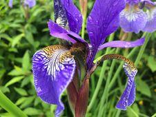 Free Flower, Plant, Iris Versicolor, Flowering Plant Royalty Free Stock Image - 122701026