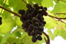 Free Grape, Fruit, Grapevine Family, Seedless Fruit Royalty Free Stock Image - 122701096