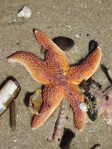 Free Starfish, Marine Invertebrates, Invertebrate, Echinoderm Royalty Free Stock Photo - 122701395