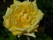 Free Rose, Flower, Rose Family, Yellow Stock Photos - 122701473