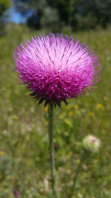 Free Silybum, Thistle, Plant, Noxious Weed Stock Image - 122701521