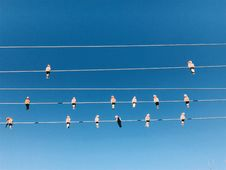Free Many Pink Birds On A Power Cable Stock Images - 122777244