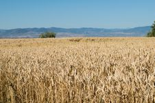 Free Ecosystem, Crop, Field, Grass Family Royalty Free Stock Image - 122924926