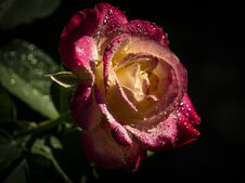 Free Rose `Double Delight` Close-up. Stock Photos - 122939753