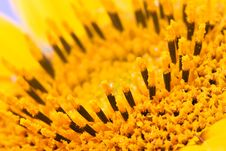 Free Sunflower Royalty Free Stock Photography - 1232617