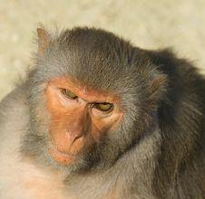 Free Monkey Royalty Free Stock Images - 1233709