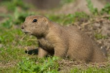 Free Prairie Dog Royalty Free Stock Photos - 1233748