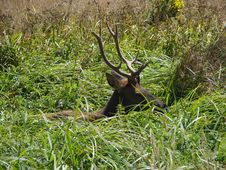 Free Hidden Elk Royalty Free Stock Photos - 1234448