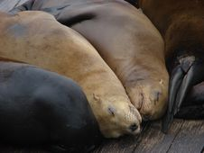 Free Sleeping Sea Lions Royalty Free Stock Images - 1234469
