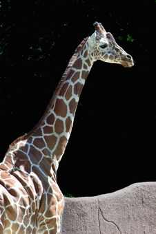 Free Giraffe Head And Neck Royalty Free Stock Photography - 1234647
