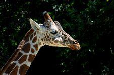 Free Giraffe Head Stock Photos - 1234673