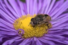 Free Bee On A Violet-coloured Flower Stock Images - 1235464
