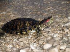 Free Turtle Royalty Free Stock Photos - 1235808