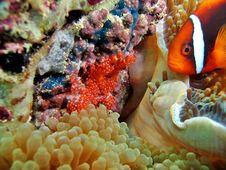 Free Clownfish Nest Royalty Free Stock Photo - 1237485