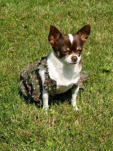 My Chihuahua Stock Photo