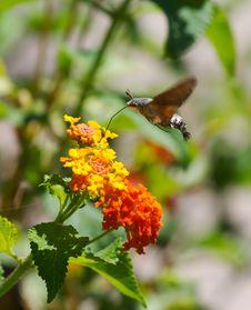 Free Moth Royalty Free Stock Image - 1238336