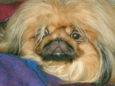 Dog On Sofa Stock Photo
