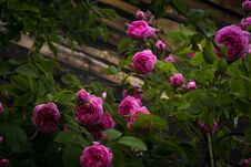 Pink Climbing Roses Royalty Free Stock Photography