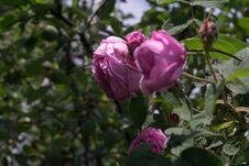 Free Pink Climbing Roses Stock Photo - 123051050